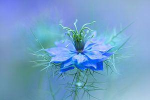 Nigella bloem, Juffertje-in-het-groen van