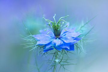 Nigella bloem | Juffertje-in-het-groen van Marianne Twijnstra-Gerrits