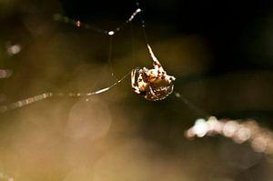 Spin fabriceerd zijn web van