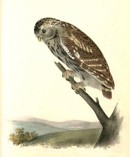 Nacht Uil, Little Night-Owl., Audubon, John James, 1785-1851 van Liszt Collection
