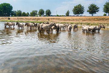 Konik Paarden in het water van