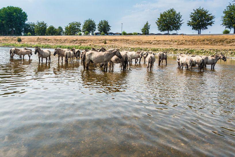 Konik Paarden in het water van Brian Morgan