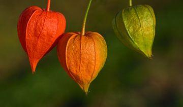 Lampionblumen vor grünem Hintergrund von Ulrike Leone