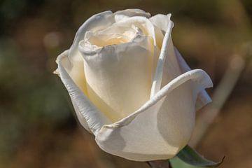 Witte roos van didier de borle