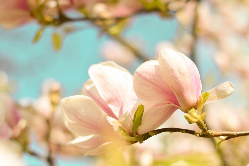 Lentebloesem magnolia 4 van Joske Kempink