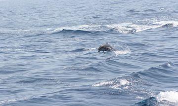 royal delfin sur Rick Nijman