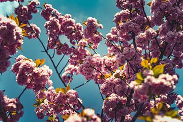 Bloesems roze 05 van FotoDennis.com