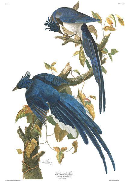 Westelijke Struikgaai van Birds of America