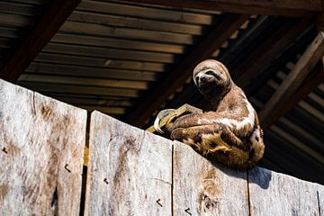 Schattige luiaard uit de Amazone in een huis in Iquito, Peru, Zuid-Amerika van John Ozguc