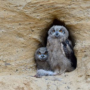 Eurasian Eagle Owls ( Bubo bubo ), young chicks at nesting site, feeding on prey ( nutria )