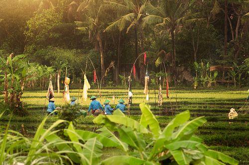Het planten van de rijst op Bali