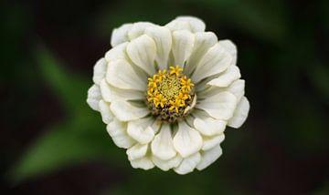 Witte bloem van MSP Canvas
