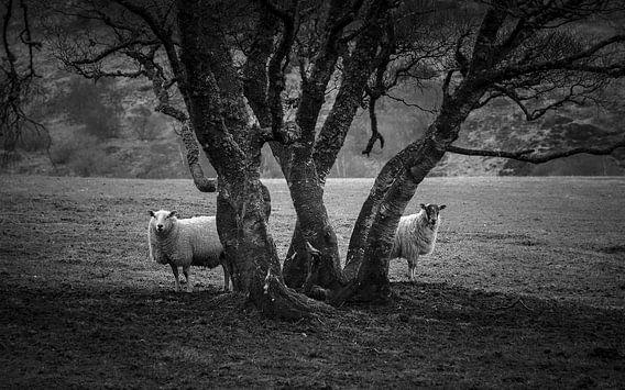 Sheep taking the shade in the highlands van Luis Fernando Valdés Villarreal Boullosa