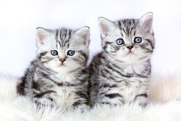 Zwei britische shorthair schwarze silberne Tabbykätzchen sitzen auf Schaffell von Ben Schonewille