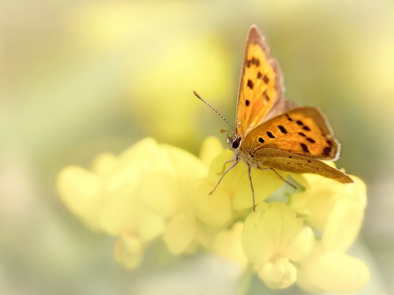Precious Summer Gold .... (Vlinder, Zomer, licht) van Bob Daalder