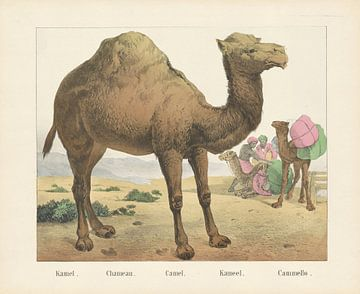 Kameel, Firma Joseph Scholz, 1829 - 1880