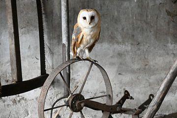 Schleiereule von Vrije Vlinder Fotografie