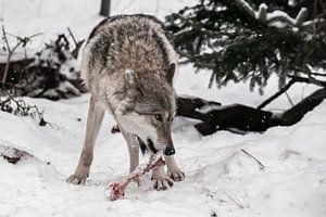 een vrouwelijke wolf in de sneeuw, kijkt verdacht en knaagt aan een bot, een roofdier in de winter. van Michael Semenov