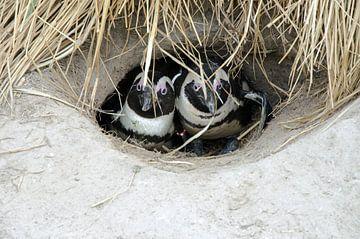 Pinguine sind kalt von Ron van der Meer