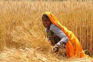 Vrouw in graanveld in India van