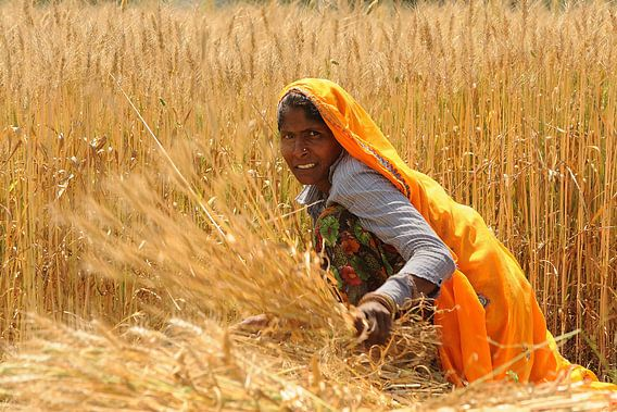 Vrouw in graanveld in India