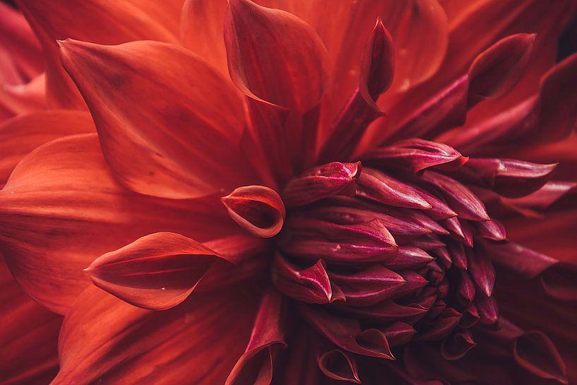Prachtige rode dahlia van Koop je Canvas