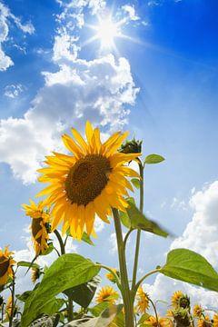 sunflower von Leo van Valkenburg