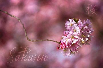 Sakura sur Thomas Herzog