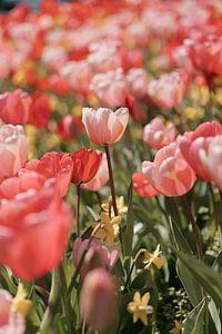 Roze Tulpen in voorjaarszon van Jonai
