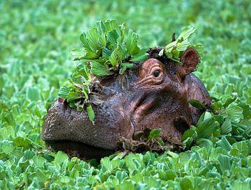 Hippopotamus sur Peter Geraerdts Wildlife Photography