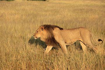 Afrikaanse leeuw met zwarte manen kalahari woestijn van Bobsphotography