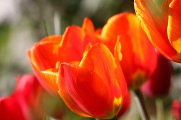 Tulpen im Frühling von Erich Werner