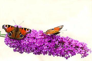Dagpauwoog vlinders op een vlinderstruik. von Greet ten Have-Bloem