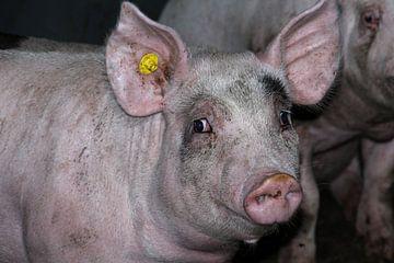 Schweinskopf von anouk kemper