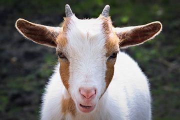 Portretfoto van een dwerggeit