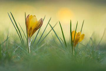 Krokusse an einem Frühlingsmorgen von John van de Gazelle