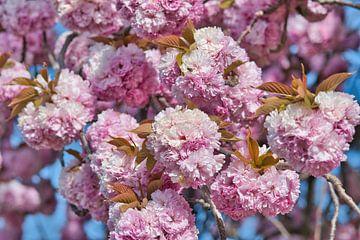 Rosa Frühlingsblüten Ich genieße Ihre schönen Farben von J..M de Jong-Jansen