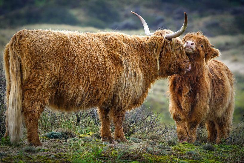 Schotse hooglander met jong van Dirk van Egmond