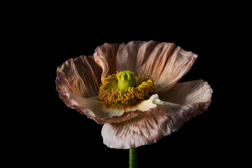 Kleurrijke bloem met zwarte achtergrond landschap van Steven Dijkshoorn