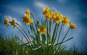 Echte Hollandse Narcissen