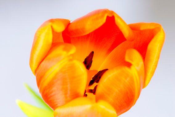 Oranje tulp van Maerten Prins