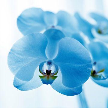 blauwe orchidee sur
