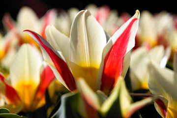Tulp wit rood geel van Fleksheks Fotografie