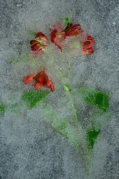 Blume gefroren oder nicht 5 von Wim van Ooijen