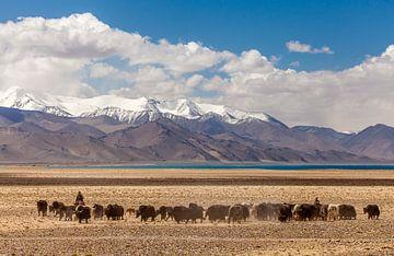 Yakherde am Karakulsee in Tadschikistan von Paul de Roos