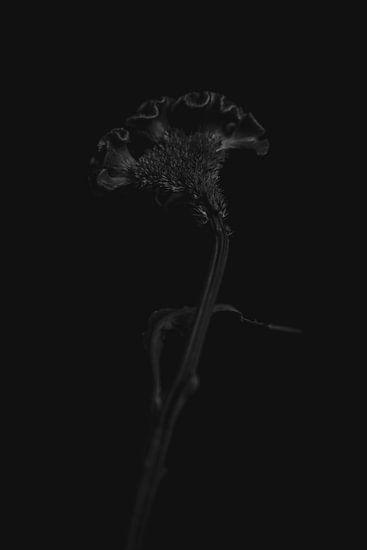Celosia zwart
