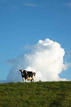 Zwartbonte koe op de dijk in de late middagzon van