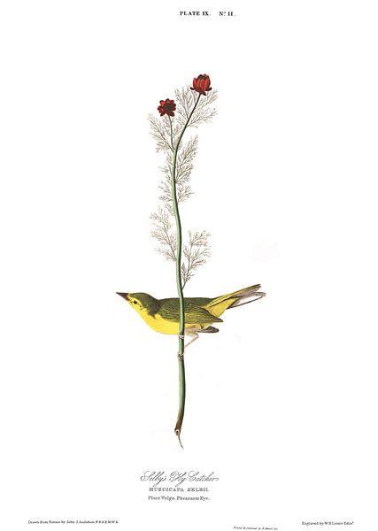 Monnikszanger van Birds of America