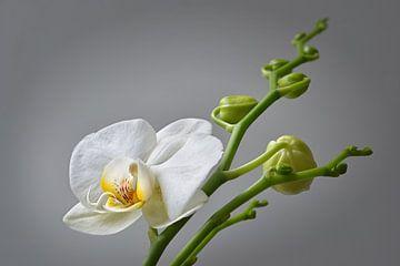 weiße Orchidee von Dieter Beselt