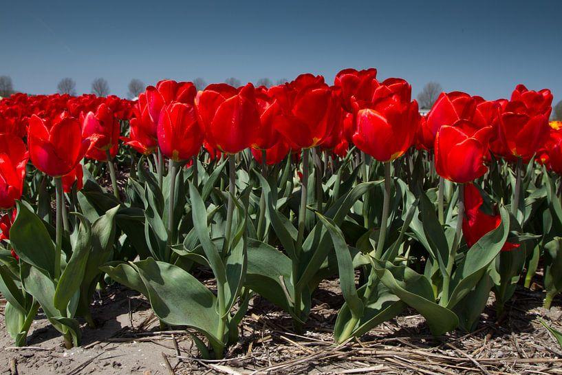 Rode tulpen van Menno Schaefer